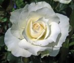 Margaret Merrill rose